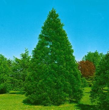 Conifer, Giant Sequoia, Sequoiadendron (Genus)