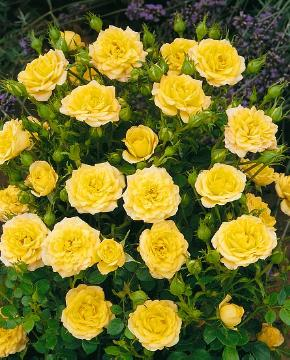 Ground cover rose, Miniature rose