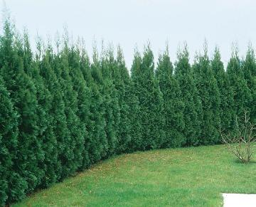 Coniferes, Hedges, Thuja occidentalis Smaragd, Thuja occidentalis