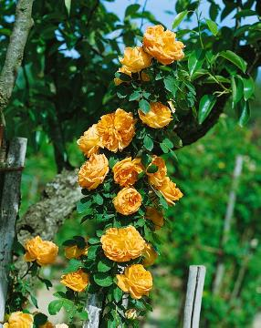Austrian Briar, Shrub rose