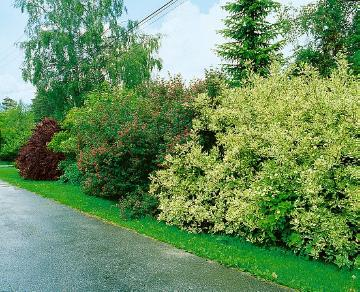 Barberry, Cornus (Genus), flowers hedge, Mixture (Mix), Shrubs and Palms, Springtime, weigela (Genus)