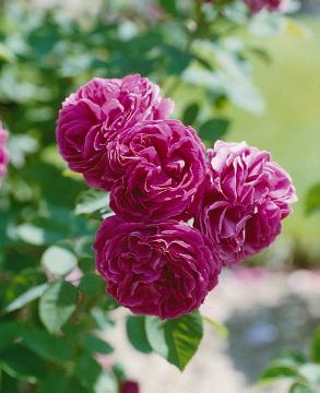 Damask Rose, old rose