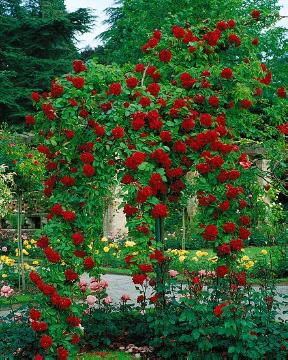 long stemmed rose, Weeping Standard Roses