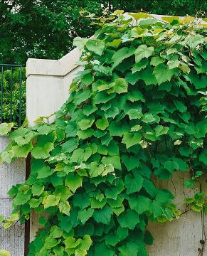 Climber, foliage, grape (Genus)
