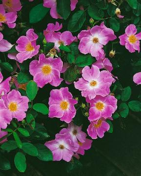 Shrub rose