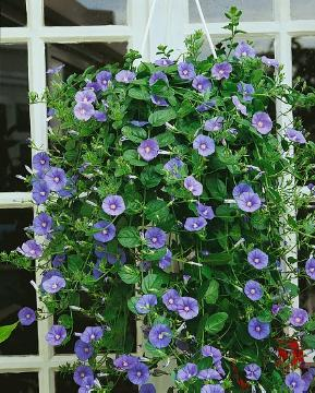Ground Morning Glory, hanging flower basket