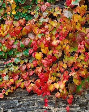 Autumn, decoration, fall foliage, Parthenocissus tricuspidata, planting vegetation on wall