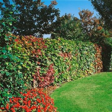 decoration, fall foliage, Parthenocissus tricuspidata, planting vegetation on wall