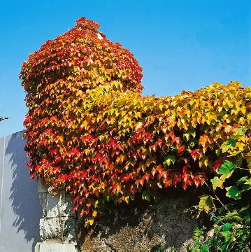 Autumn, fall foliage, House wall greening, Parthenocissus tricuspidata