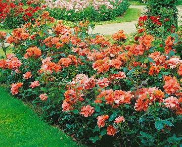 Floribunda rose, Rose border, Rose garden