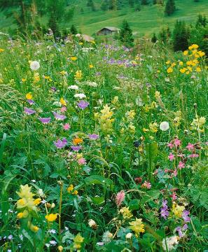 Alm, Flower meadow, Natur