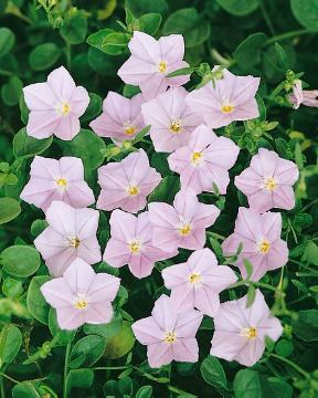 Field Bindweed (Genus), Perennials