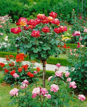Hybrid Tea, long stemmed rose