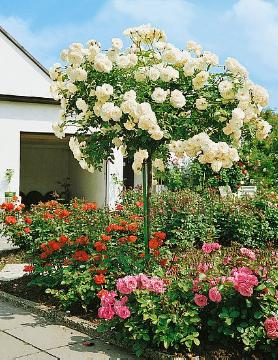 long stemmed rose, Rose garden