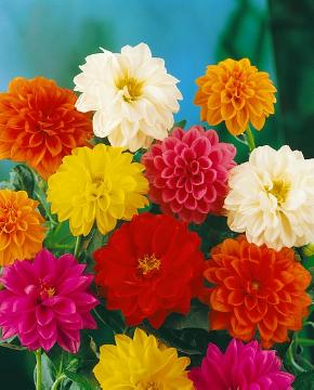 Bulb and corm, dahlia (Genus), Dahlia Dahlietta, Mixture (Mix)