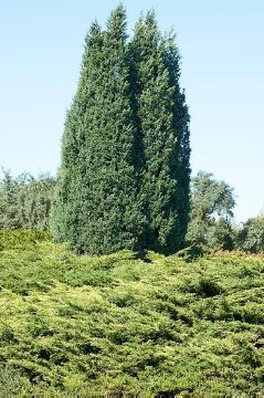 Coniferes, conifers garden, Juniperus (Genus)