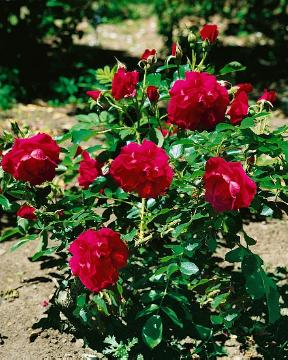 Japanese Rose, Shrub rose