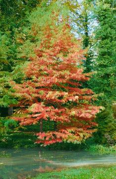 Autumn, Taxodium distichum
