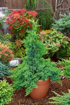 conifer, Japanese Juniper, Juniperus (Genus), Topf
