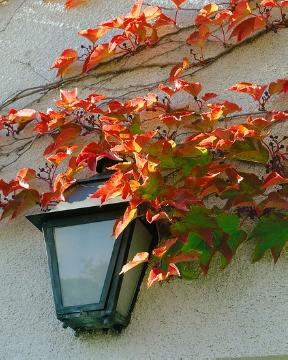 decoration, Parthenocissus tricuspidata, planting vegetation on wall, Wandbeleuchtung