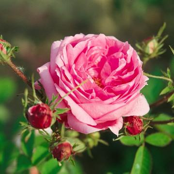 Rosa gallica, rose (Genus), Roses
