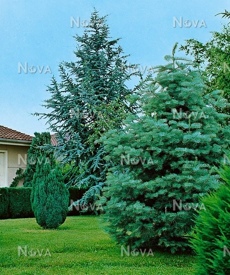 30 10 48 Garden scene with Conifers