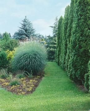Coniferes, Garten, Ornamental Grasses, Rasen