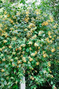 Climber, Lonicera sempervirens, Shrubs and Palms