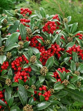 Fruchtschmuckpflanze, Japanese Skimmia, Plants for Acid Soil, Shrubs and Palms