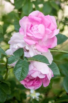 Rosa gallica, Shrub rose