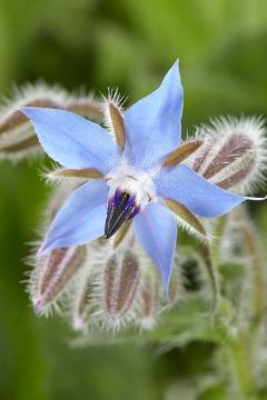 atmosphere, blossom, borage (Genus), Borage, Lifestyle, Spice plant