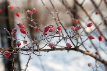 atmosphere, Ice, impression, Rosa canina, rose hip, snow, Winter impression