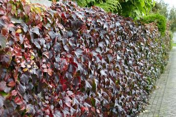 Blattschmuckpflanze, Climber and Rambler, fall foliage, fall impression, Parthenocissus tricuspidata, planting vegetation on wall