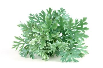 Artemisia absinthium, Spice plant, white background