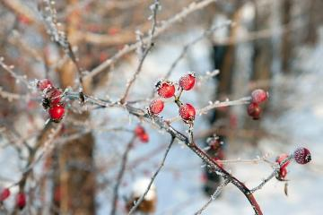 atmosphere, Ice, impression, Rosa canina, rose hip, snow, twig «Pflanzengruppen», Winter impression