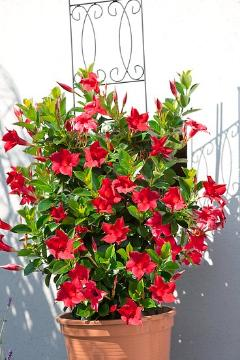 Climber, Mandevilla sanderi, Plant container «Accessories in the Garden»
