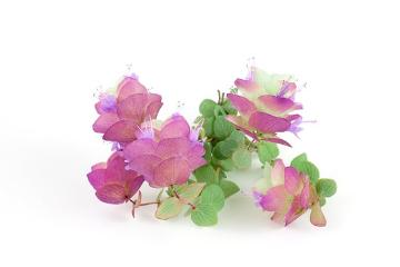 Origanum rotundifolium Kent Beauty, Spice plant, white background