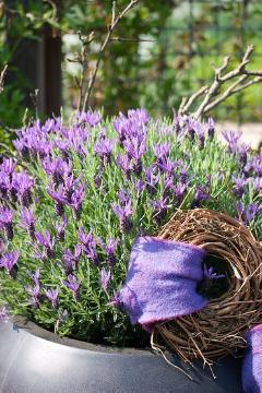 decoration «Miscellaneous», Lavandula stoechas subsp. stoechas, Plant container «Accessories in the Garden»