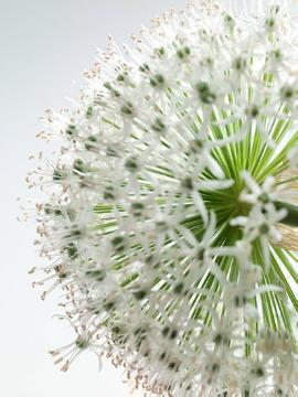 Allium rosenbachianum, onion (Genus), Ornamental onion, Trend und Stil, white background