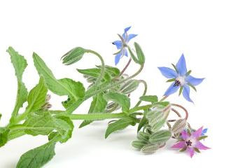 borage (Genus), Borage, Spice plant, white background