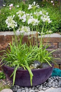 agapanthus (Genus), Pflanzschale, Plant container «Accessories in the Garden»