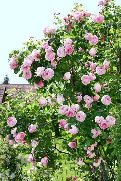 English Rose, Rose garden, Shrub rose