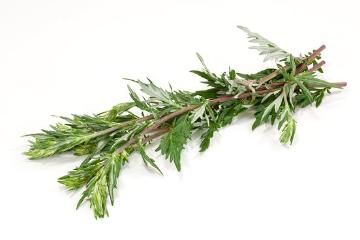Artemisia vulgaris, white background