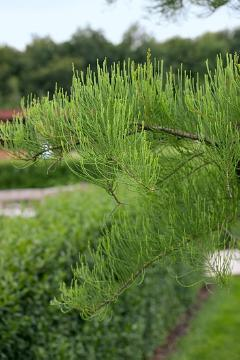 conifer, Pond Cypress, Taxodium distichum
