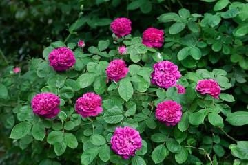 Rosa damascena, Rosa gallica