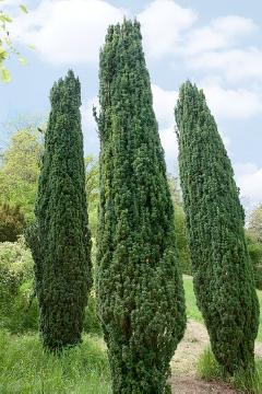 Coniferes, Taxus baccata