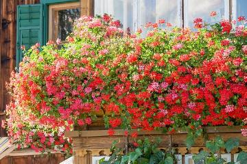 Fensterdekoration, Fensterschmuck, Hanging Geranium, Pelargonium (Genus), window box, window