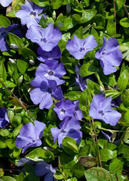 Bodenbedeckende Pflanze, Bodendecker, periwinkle (Genus), Shrubs and Palms, Vinca minor