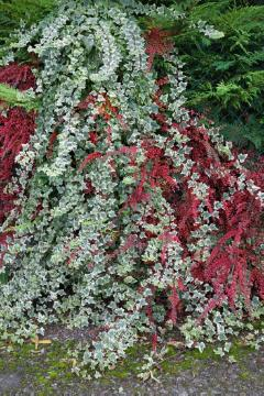 climbing plant, Herring Bone Cotoneaster, ivy (Genus), Mixture (Mix), Shrubs and Palms