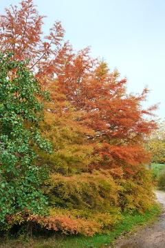 fall foliage, Taxodium distichum